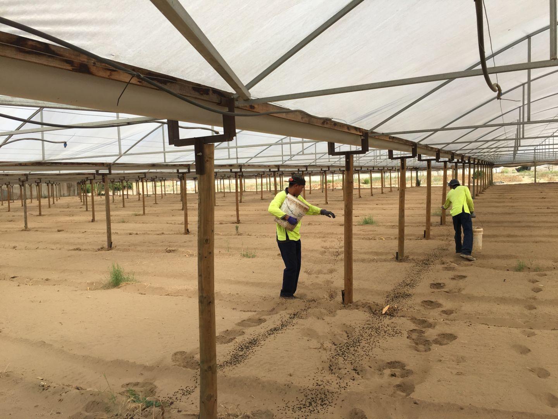 Workers applying fertiliser to soil under a greenhouse - 2017 biochar trials