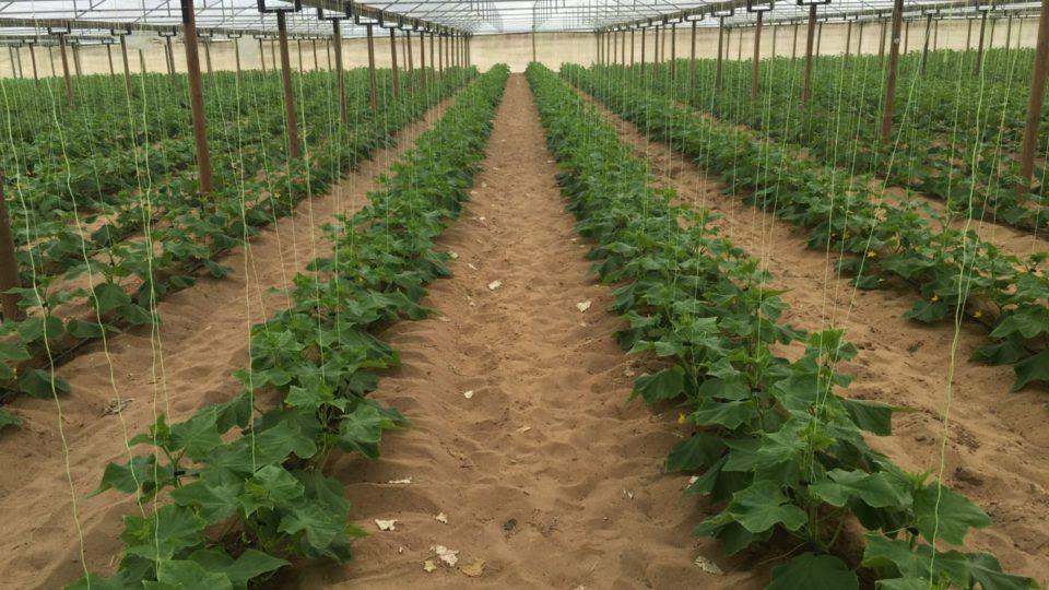 2015 Biochar Trials - cucumber plants in rows in a greenhouse
